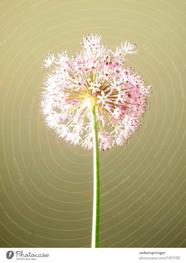 Pusteblume Farbfoto mehrfarbig Studioaufnahme Experiment Menschenleer Sonnenlicht Natur Pflanze Frühling Blume Grünpflanze Neugier