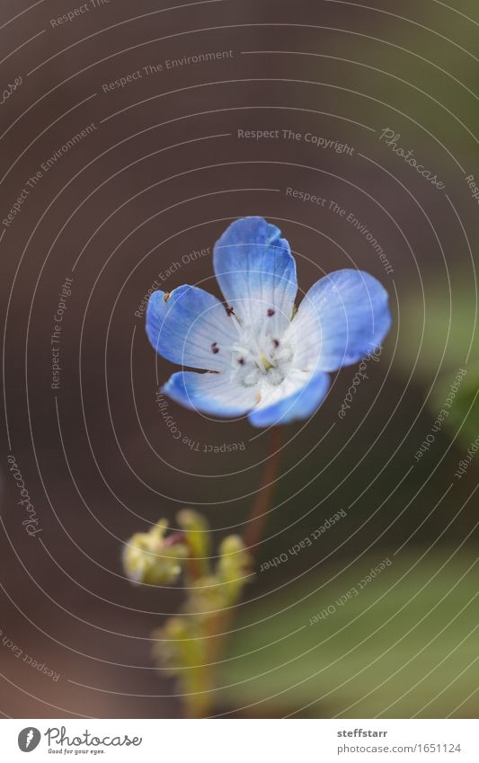 Blaue Nemophila Baby Blue Eyes Blume Nemophila Menziesii Pflanze Blatt Blüte Wildpflanze blau grün weiß Freundschaft Liebe Romantik schön friedlich dankbar