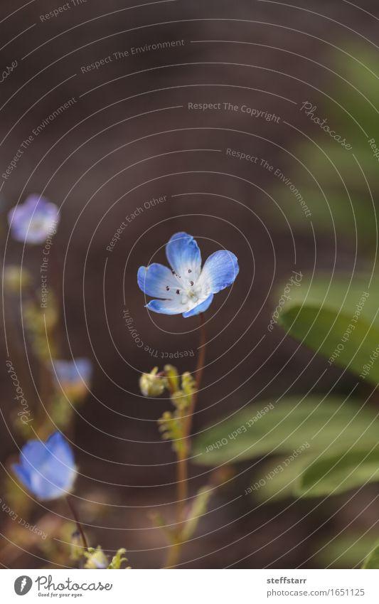 Blaue Nemophila Baby Blue Eyes Blume Frühling Pflanze Blatt Blüte Wildpflanze frei Fröhlichkeit frisch blau grün weiß schön friedlich Farbfoto Makroaufnahme