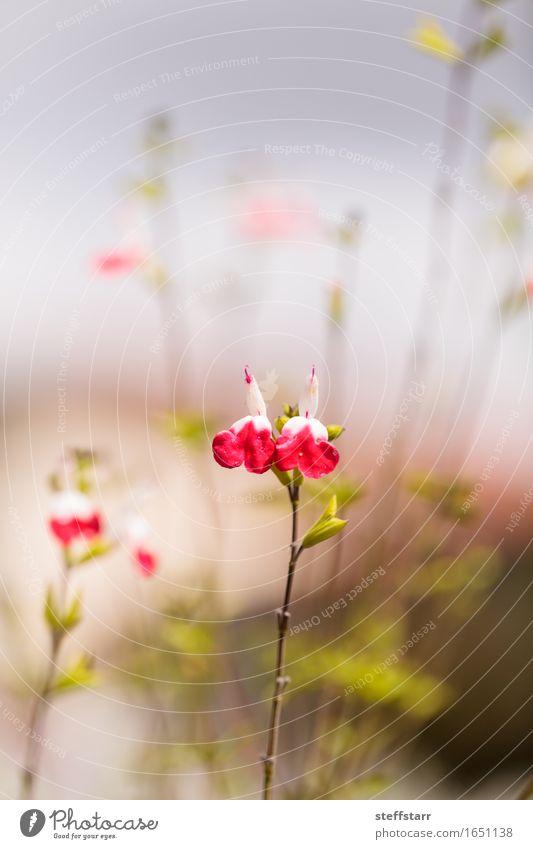 Pflanze weiß Blume Erotik Blatt Liebe Blüte Frühling rosa Herz rein Wildpflanze