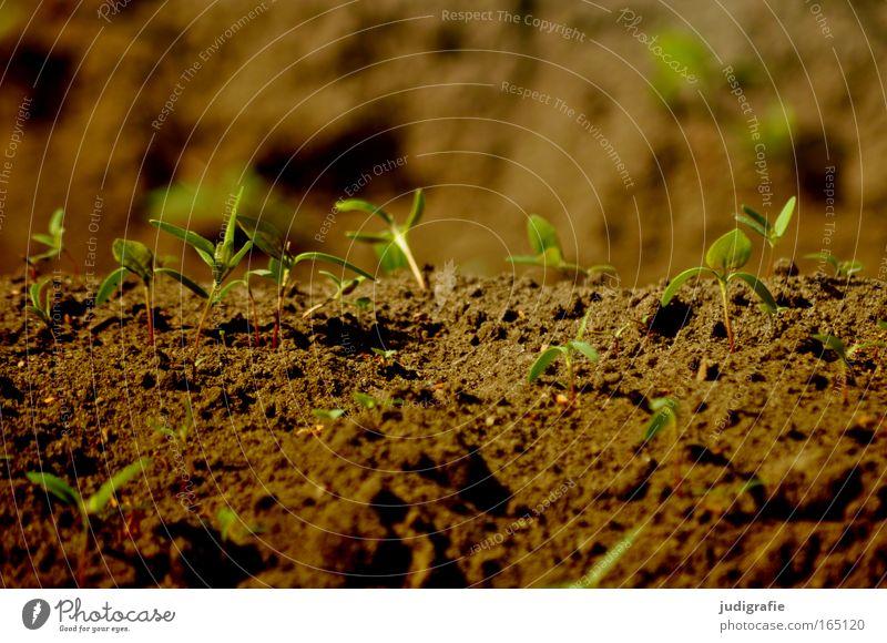 Acker Natur grün Pflanze Sommer Leben Frühling braun Erde Feld Wachstum Landwirtschaft Forstwirtschaft Nutzpflanze