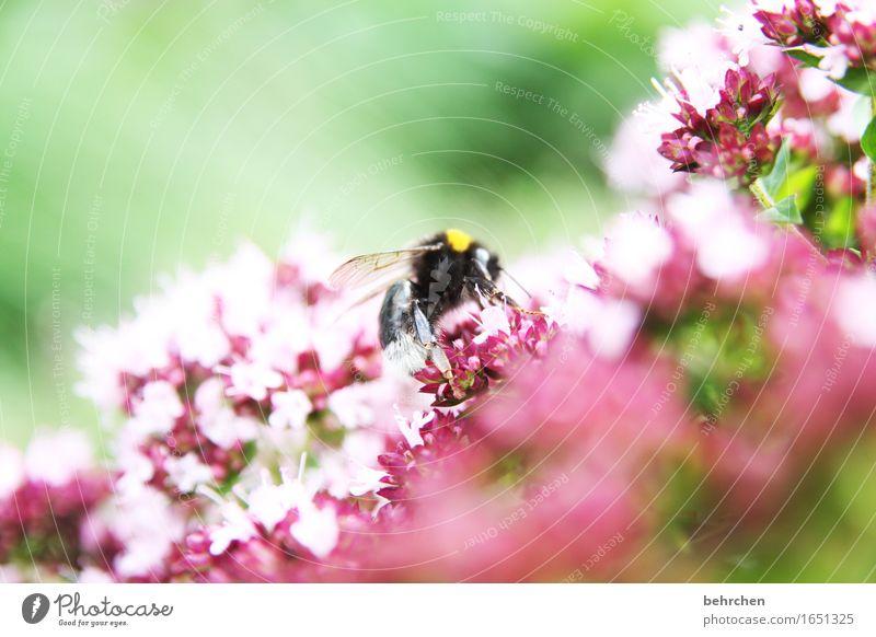 gewürzrausch Natur Pflanze Tier Sommer Schönes Wetter Blume Blatt Blüte Kräuter & Gewürze Majoran Oregano Thymian Garten Park Wiese Wildtier Tiergesicht Flügel