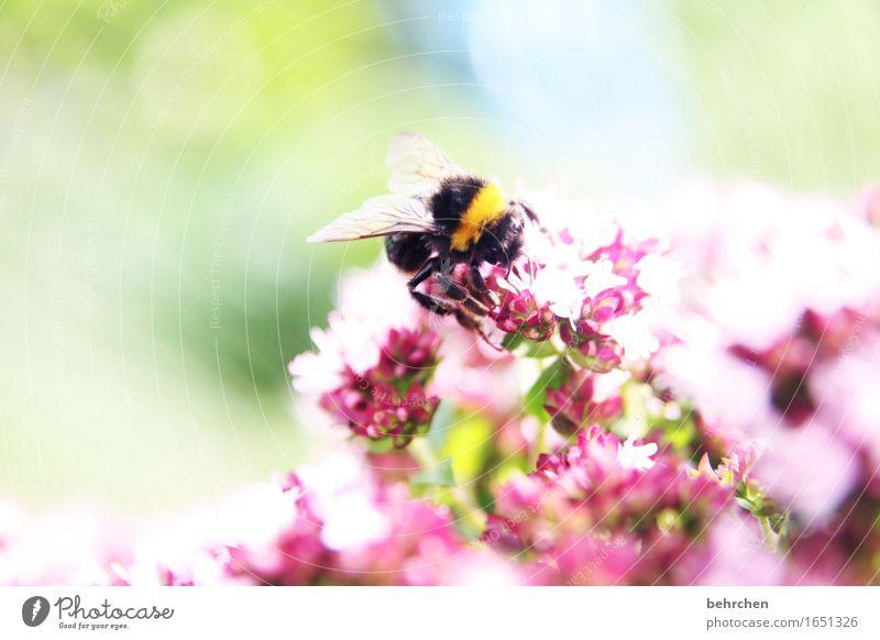 hummelig Natur Pflanze Tier Sommer Schönes Wetter Blatt Blüte Kräuter & Gewürze Majoran Thymian Oregano Garten Park Wiese Wildtier Flügel Hummel 1 Blühend Duft