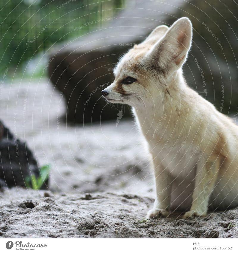Füchsle Tier Hund klein Tiergesicht Wüste Fell Zoo Wildtier kuschlig Fuchs Landraubtier