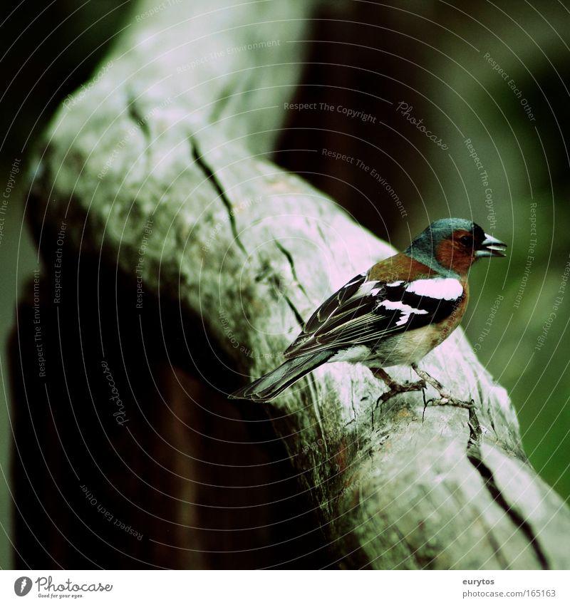 Der Buchfink Natur Pflanze Tier Vogel Umwelt beobachten Zoo Wildtier exotisch Umweltschutz füttern Fink Cross Processing Buchfink