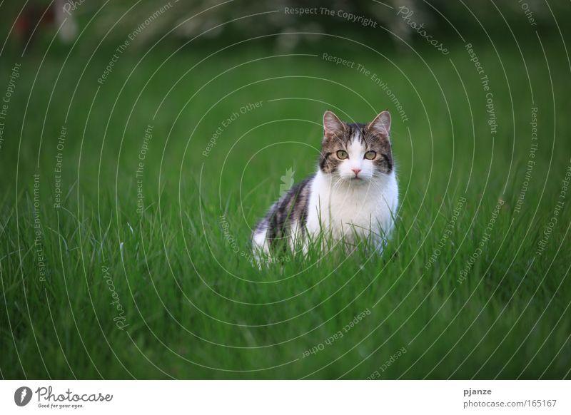 Mau? Natur Tier Wiese Gras Frühling Garten Haare & Frisuren Katze Angst sitzen Coolness Tiergesicht bedrohlich beobachten fangen Fell