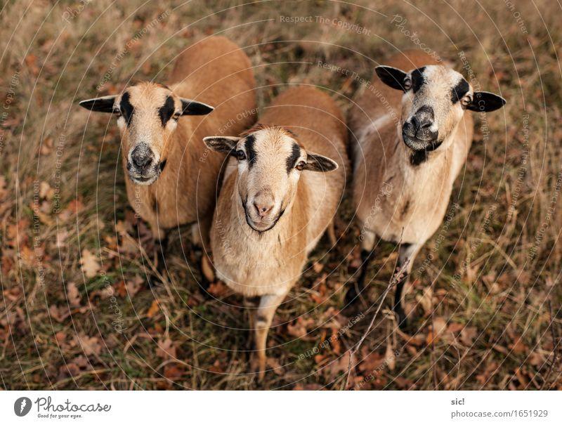 Trio Herbst Wendland Dorf Nutztier Schaf 3 Tier Tiergruppe füttern Neugier braun gelb gold Einigkeit Zusammensein Tierliebe Interesse Farbfoto Außenaufnahme