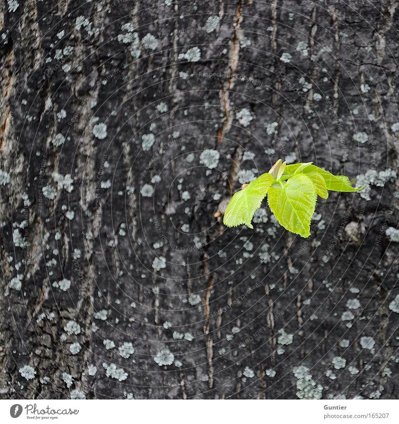 auf ein neues ... Natur grün Baum Pflanze Blatt Frühling Park Beginn frisch Makroaufnahme Frühlingsgefühle Wildpflanze