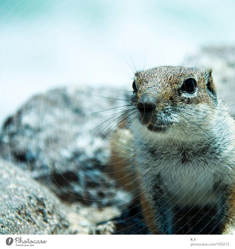 Glotzkowski Farbfoto Außenaufnahme Textfreiraum oben Tag Schwache Tiefenschärfe Tierporträt Wildtier Tiergesicht Fell Erdhörnchen Atlashörnchen 1 Stein