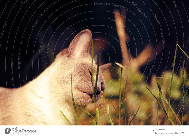 Genießen ... Farbfoto Außenaufnahme Menschenleer Tag Tierporträt Umwelt Natur Pflanze Frühling Sommer Gras Grünpflanze Wiese Haustier Katze Tiergesicht Fell 1