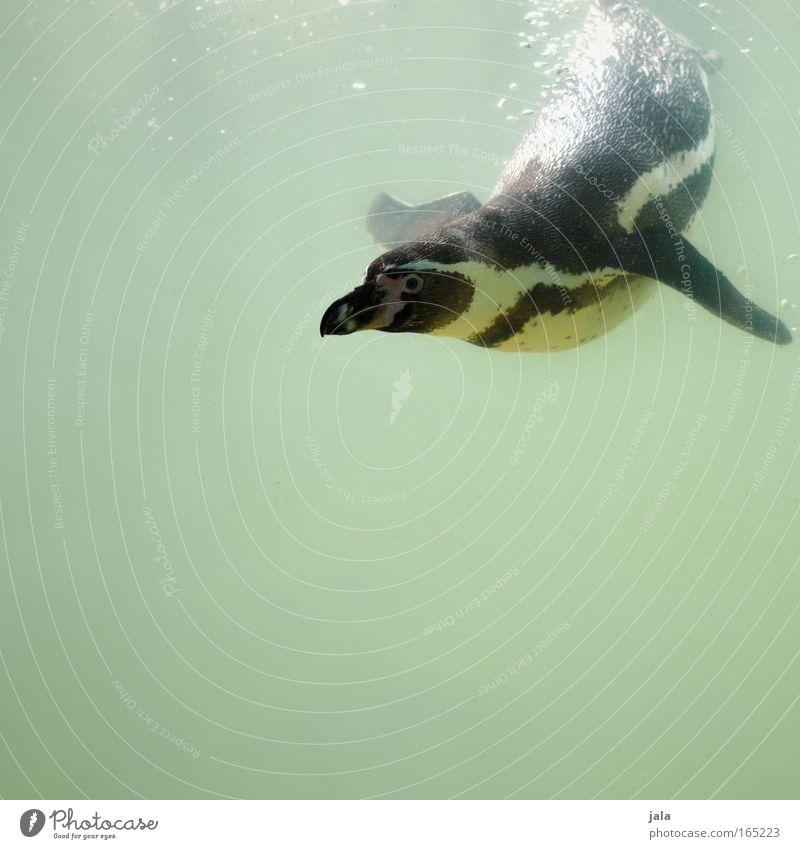 Pinguin Pool : Round Two Wasser weiß grün Freude schwarz Tier Spielen nass Fröhlichkeit Feder Tiergesicht Flügel tauchen Zoo niedlich