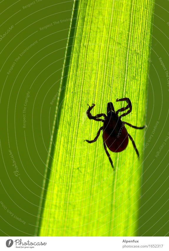 "Diese ""Augen"" !! Tier Zecke 1 beobachten hängen krabbeln bedrohlich Ekel gruselig hässlich Krankheit grün Appetit & Hunger Angst Entsetzen Todesangst Natur"