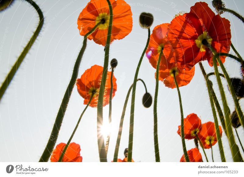 Mohnbäume Natur Sonne Pflanze Sommer Blüte Umwelt Wachstum Schönes Wetter Surrealismus Wolkenloser Himmel