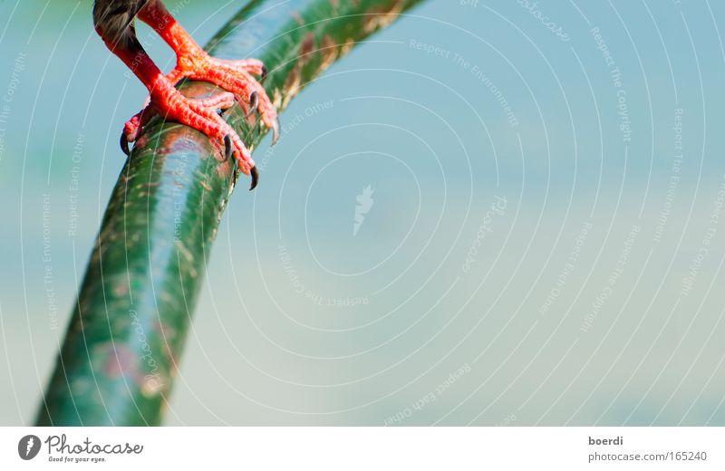 fEsthalten Natur blau Farbe rot Tier natürlich Vogel Fuß Metall Zufriedenheit frei Kraft Wildtier sitzen stehen Sicherheit