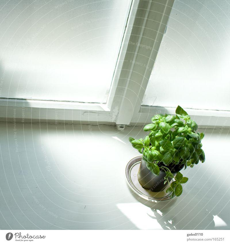 Basilkum illuminated Pflanze Umwelt Fenster Leben Gesundheit Erde Wohnung Klima Lebensmittel Wachstum Ernährung Dekoration & Verzierung Häusliches Leben Gemüse