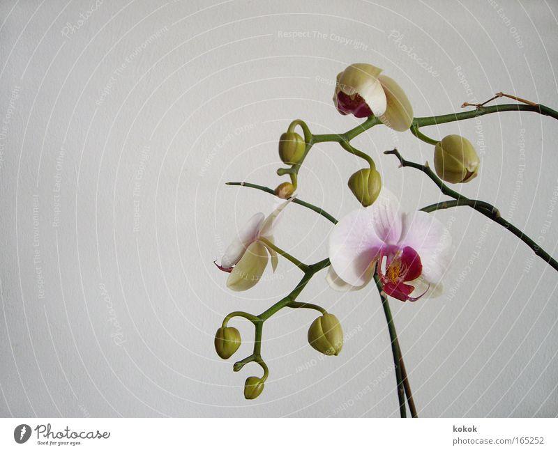 Orch-idee schön Pflanze Blume Erholung Blüte elegant Wachstum beobachten Kosmetik Veranstaltung Friseur exotisch Blütenknospen Printmedien Orchidee verblüht
