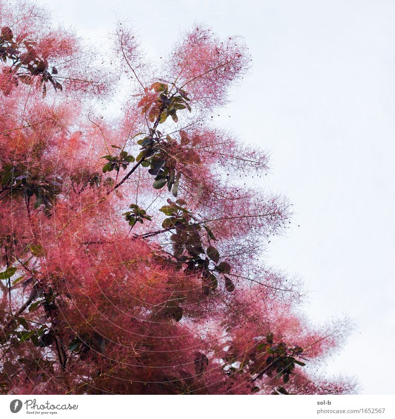nwpc Natur Pflanze Baum Blatt schön rot Flaum Farbfoto Außenaufnahme Menschenleer Tag