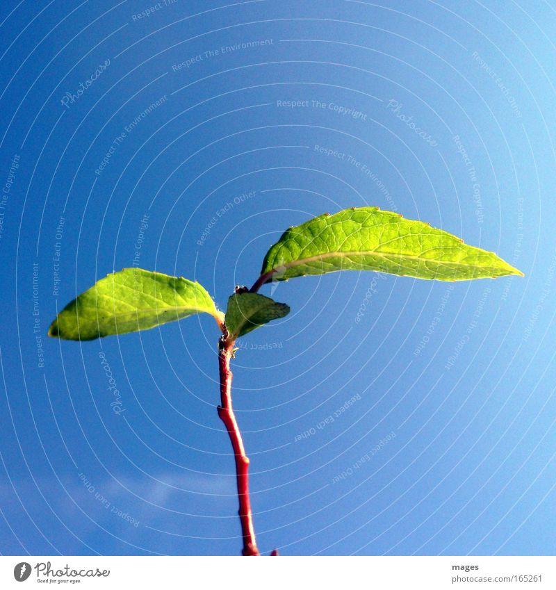 Himmelwärts Natur Himmel grün blau Pflanze Blatt Frühling Luft klein Umwelt Beginn Wachstum Klima Stengel Landwirtschaft Schönes Wetter
