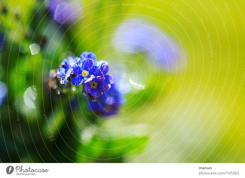 Vergiss mich nicht schön Blume grün blau Pflanze Sommer gelb Gefühle Blüte Frühling Glück Zusammensein frisch ästhetisch Kommunizieren Romantik