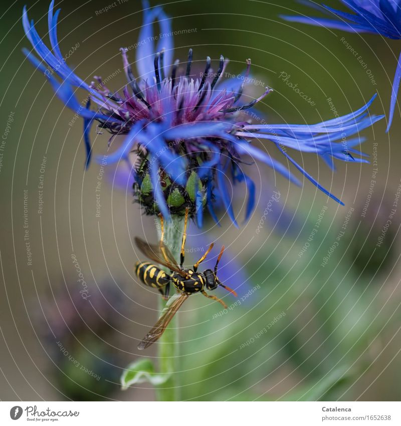 Akrobatik Pflanze Tier Sommer Blume Blüte Kornblume Garten Wildtier Insekt Hornissen 1 Duft fliegen blau gelb grün schwarz Tatkraft Flugangst anstrengen