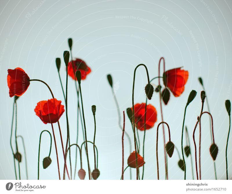 wirily Natur Pflanze Himmel Schönes Wetter Klatschmohn Garten Wiese Blühend hängen stehen Fröhlichkeit frisch blau rot Glück Leben Frühlingsgefühle Sommer