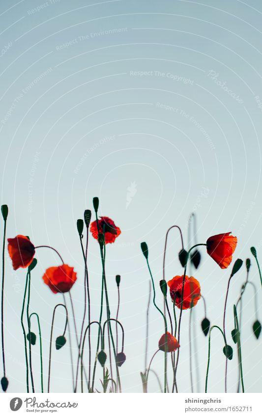 ||| Natur Landschaft Pflanze Himmel Frühling Sommer Schönes Wetter Klatschmohn Garten Wiese Blühend blau rot durcheinander Stengel Farbfoto Außenaufnahme