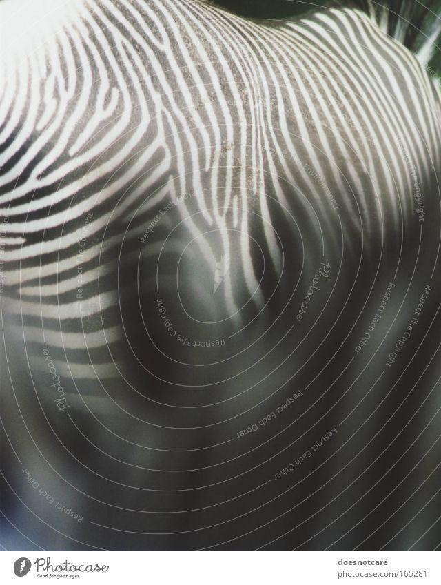 A Hundred Stripes. Tier Wildtier Pferd Zoo 2 Streifen schwarz weiß Zebra analog Spiegelreflexkamera 35 Millimeter Film Fell Schwarzweißfoto Detailaufnahme