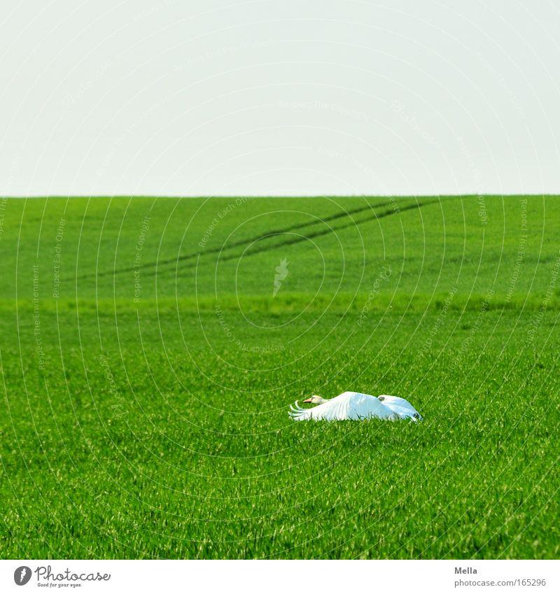 Schwanensee II: Abflug Umwelt Natur Landschaft Pflanze Tier Wolkenloser Himmel Frühling Nutzpflanze Feld Wildtier Flügel 1 Bewegung fliegen ästhetisch elegant