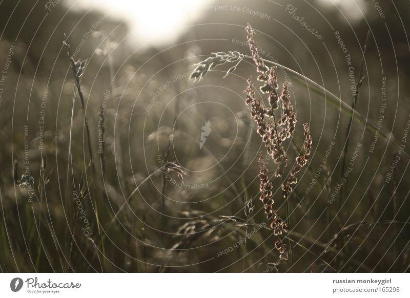 W + iese Farbfoto Außenaufnahme Menschenleer Tag Dämmerung Licht Silhouette Froschperspektive Getreide Erholung Freiheit Sommer Sonne Natur Landschaft Pflanze