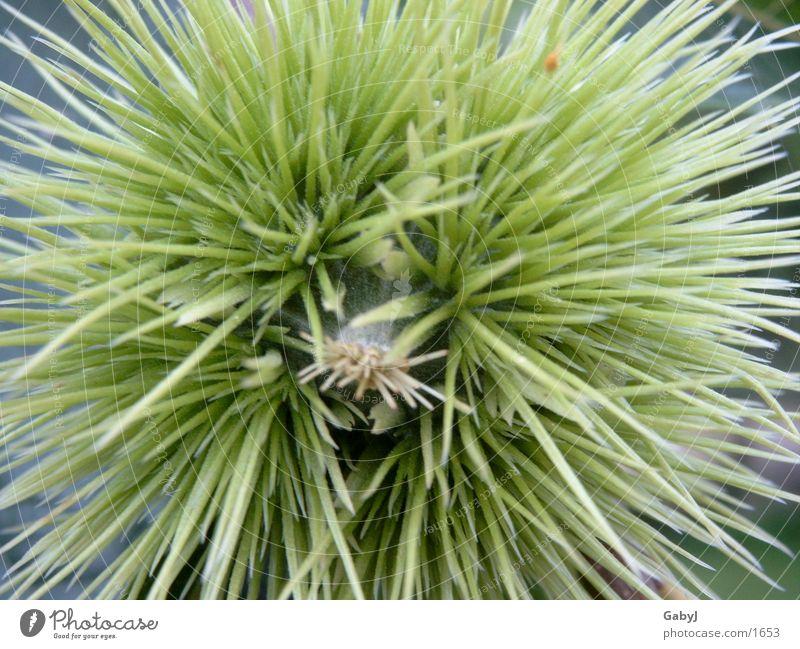grüner Seeigel Baum Frucht Stachel Kastanienbaum Maronen Baumfrucht