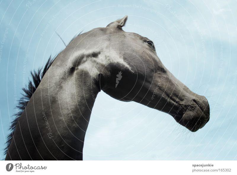 Black Beauty schön Himmel Tier Kraft glänzend elegant Pferd ästhetisch Tiergesicht beobachten wild Neugier Stolz Begierde Hochmut Tierliebe