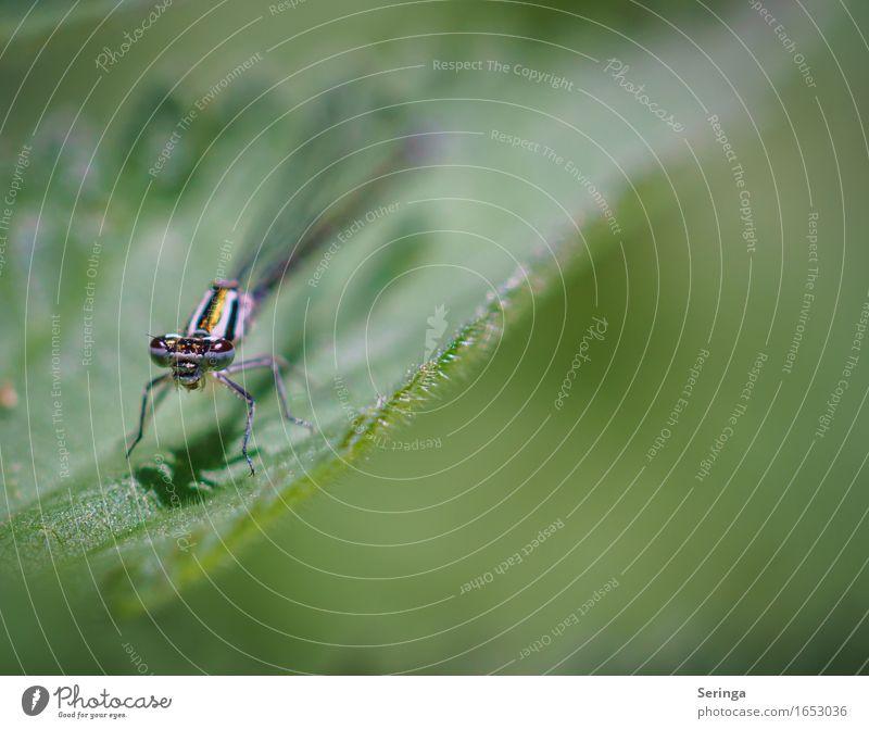 Prachtlibelle Umwelt Natur Landschaft Pflanze Tier Gras Blatt Blüte Garten Park Wiese Nutztier Tiergesicht Flügel 1 fliegen Libelle Libellenflügel
