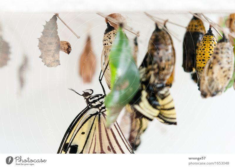 Nachwuchsförderung Tier Wildtier Schmetterling Insekt 1 Tiergruppe hängen exotisch klein nah schön braun mehrfarbig gelb grau grün weiß Larve Kokon hängend