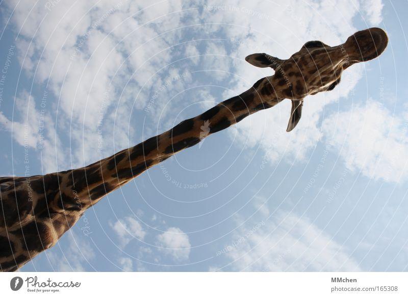 stretch Farbfoto Außenaufnahme Textfreiraum oben Textfreiraum unten Tag Ferien & Urlaub & Reisen Safari Zoo Himmel Fell 1 Tier beobachten Blick groß lang blau