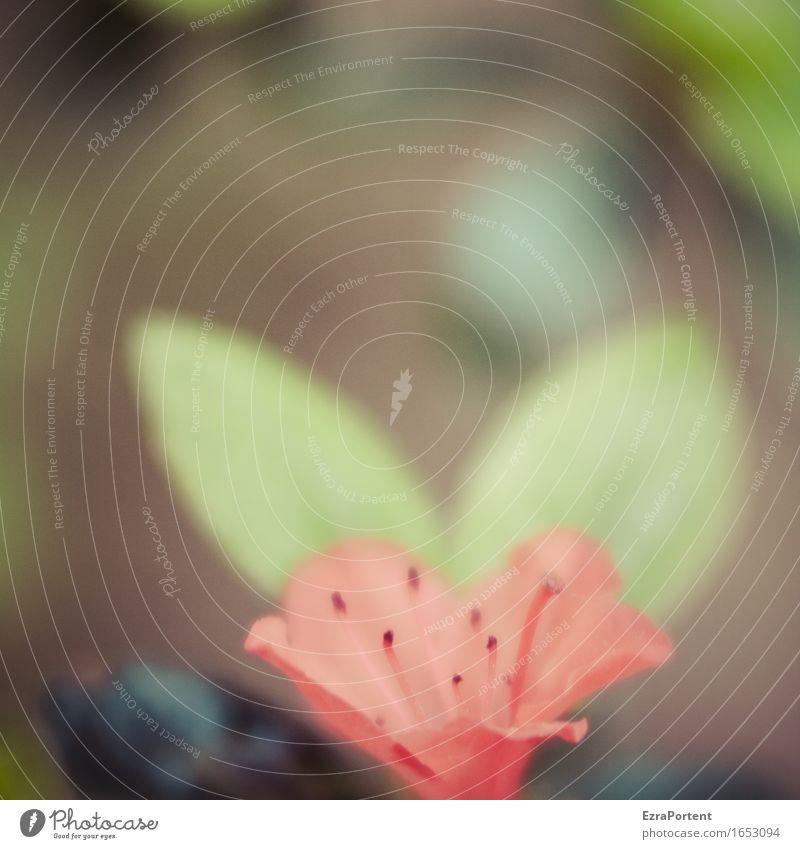 Lee-Aza Natur Pflanze Frühling Sommer Sträucher Blatt Blüte Garten Blühend natürlich grün rot Rhododendron Stempel Farbfoto Gedeckte Farben Außenaufnahme