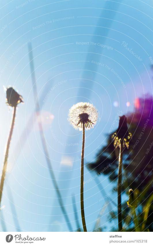 Sonnenblume Natur Blume Pflanze Freude Wiese Gras Glück Park Landschaft Zufriedenheit Löwenzahn Schönes Wetter Frühlingsgefühle Wolkenloser Himmel