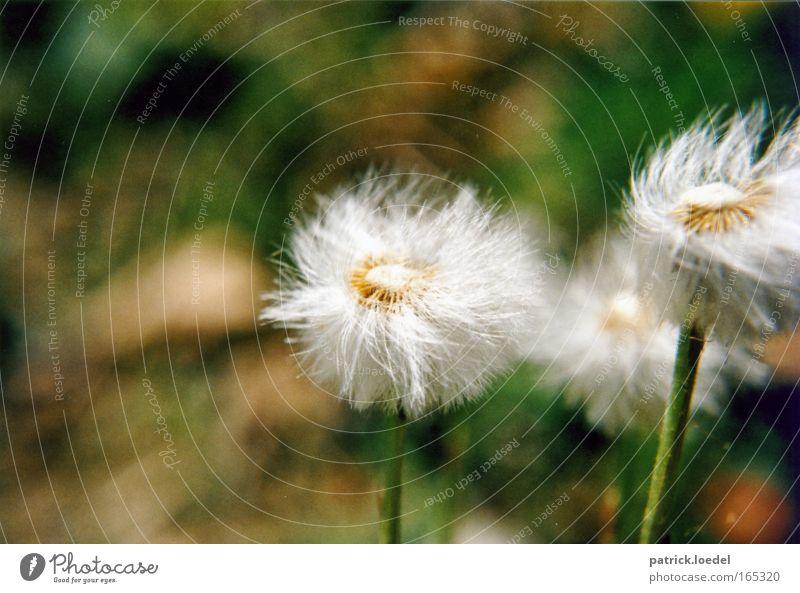 Pusteblume im Wind Farbfoto Außenaufnahme Nahaufnahme Menschenleer Textfreiraum oben Tag Bewegungsunschärfe Schwache Tiefenschärfe Froschperspektive Umwelt
