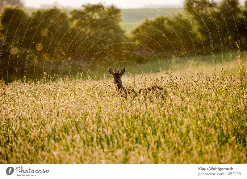 Zufallsbekanntschaft Abenteuer Umwelt Natur Landschaft Pflanze Tier Frühling Sommer Schönes Wetter Wärme Gras Wiese Wald Wildtier Fell Reh Bock 1 beobachten
