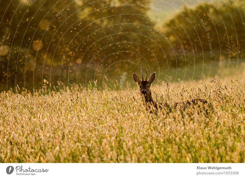 Ende Mai Erholung ruhig Umwelt Natur Tier Frühling Sommer Gras Wiese Wald Wildtier Fell Reh Bock Horn 1 beobachten Blick stehen schön braun gelb grün Idylle