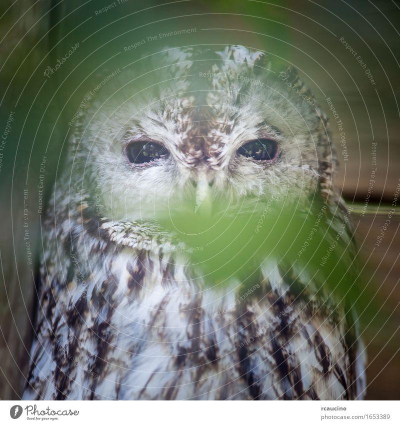 Eine Einzelheit von Waldkauz (Strix aluca) in einem Rettungszentrum Tier Wildtier Vogel Zoo 1 braun weiß Brachkauz Farbfoto Nahaufnahme Menschenleer Blick