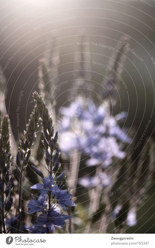 Abendsonne Natur schön Blume grün blau Pflanze ruhig Blüte Frühling träumen Wärme Zufriedenheit hell Stimmung Sicherheit einfach