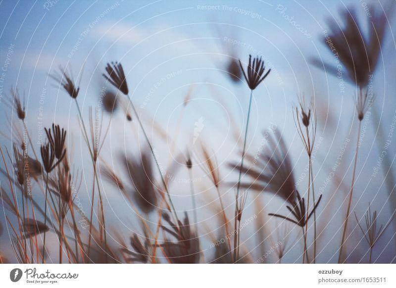 Stroh Natur Pflanze Himmel Frühling Gras Hanf Grünpflanze Wildpflanze schön einzigartig blau Romantik Lust Gelassenheit Farbfoto Gedeckte Farben Nahaufnahme