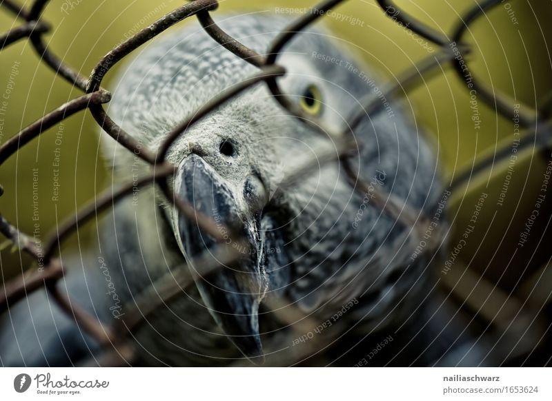 Graupapagei Tier Haustier Vogel Tiergesicht Papageienvogel Schnabel Käfig Gitter exotisch natürlich Neugier rebellisch schön gelb grau Tierliebe Interesse