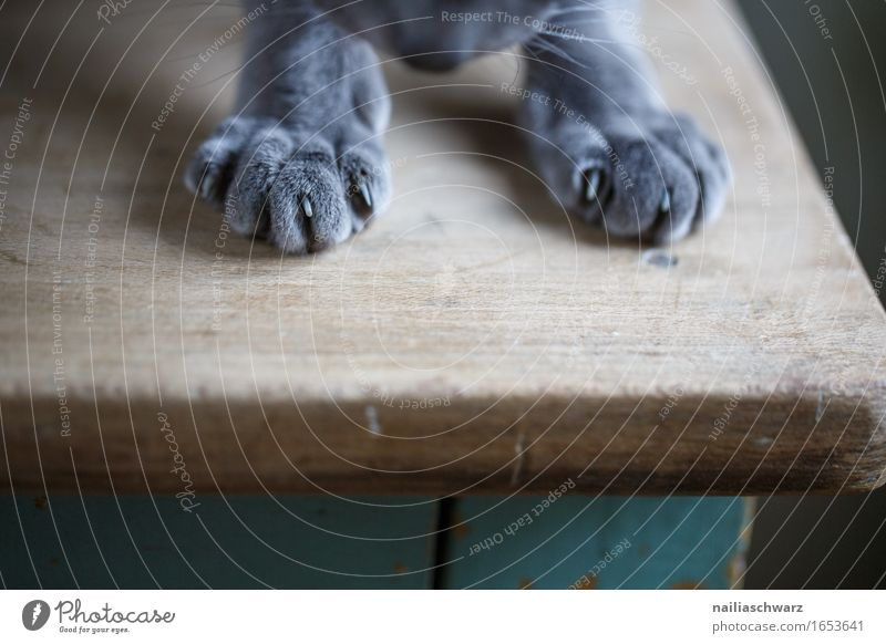 Pfoten Tier Haustier Katze Fell Krallen 1 Holz Tisch beobachten entdecken liegen elegant Freundlichkeit Fröhlichkeit niedlich schön weich blau grau grün Freude