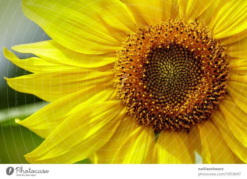 Sonnenblume Sommer Landwirtschaft Forstwirtschaft Umwelt Natur Pflanze Schönes Wetter Blume Nutzpflanze Wiese Feld Blühend Duft Wachstum natürlich positiv schön