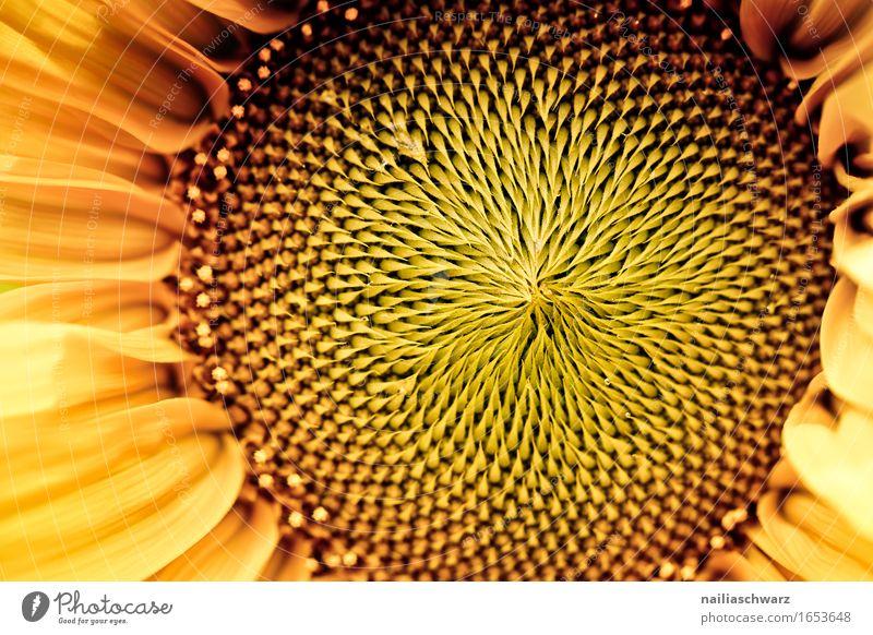 Sonnenblume Natur Pflanze Sommer schön Umwelt gelb natürlich Garten braun Wachstum leuchten Blühend Schönes Wetter Romantik Landwirtschaft Duft