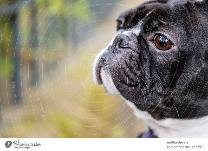 Boston Terrier Hund weiß Tier schwarz Park ästhetisch niedlich Haustier Terrier