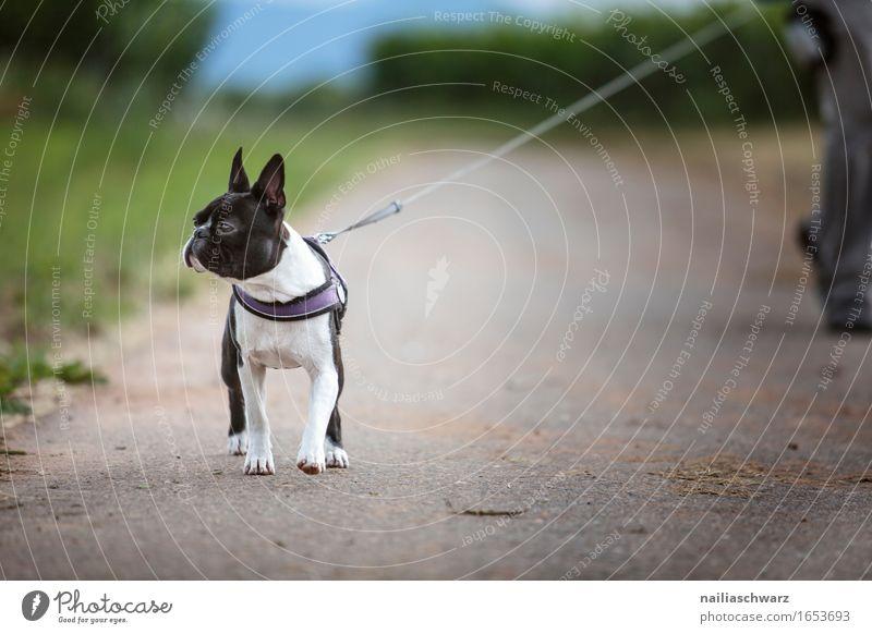 Spaziergang mit Boston Terrier Tier Haustier Hund 1 gehen springen boston terrier Gassi gehen Farbfoto Gedeckte Farben Außenaufnahme Tag Schwache Tiefenschärfe