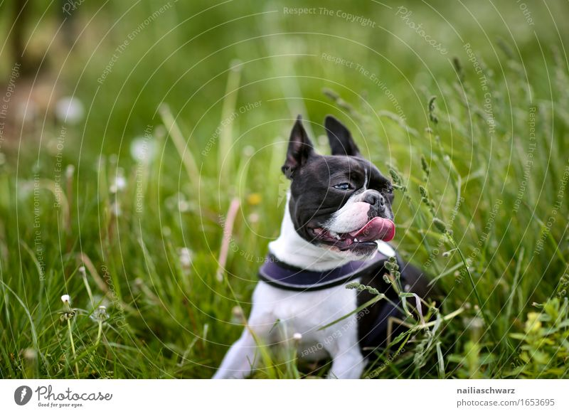Boston Terrier im Gras Tier Haustier Hund 1 springen dog walk walking boston terrier outside grass road fresh green happy pant panting Farbfoto Gedeckte Farben
