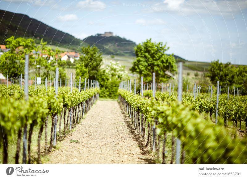 Weinberge bei Maikammer Sommer grün Deutschland Rheinland-Pfalz Weinbau Landschaft maikammer hambach suedliche weinstrasse Farbfoto Außenaufnahme Menschenleer
